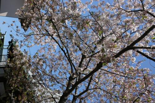 Sakura: fleur de cerisier du Japon (photo JMT)